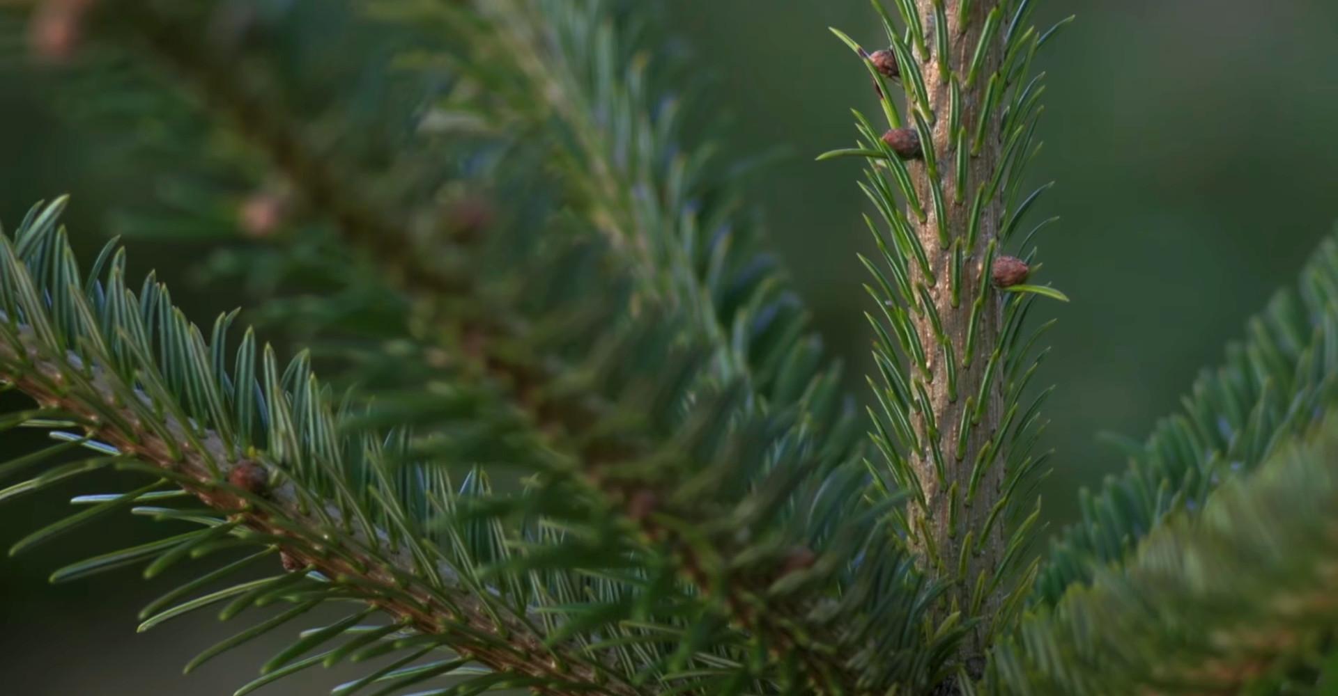 De mooiste Nordmann Excellent kerstbomen in Heemstede vanaf € 15,-