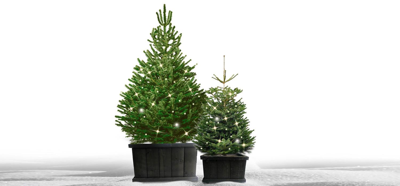 Nordmann kerstboom in kist met verlichting voor buiten bestellen in Heemstede